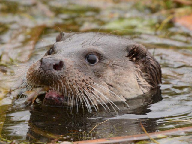 Longholme Otter