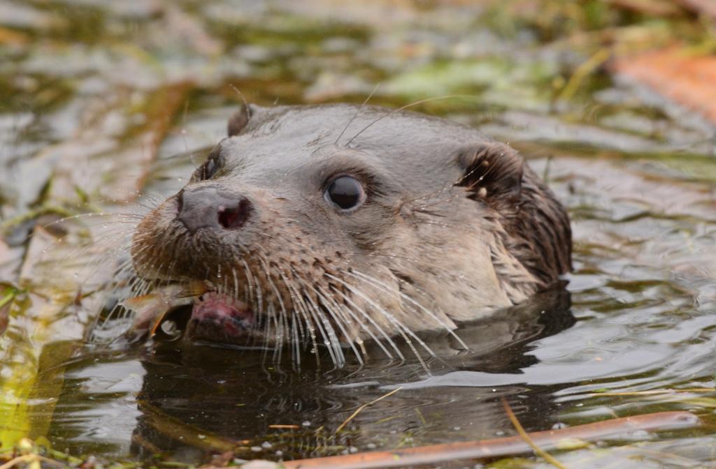 Longholme Otter Bedford