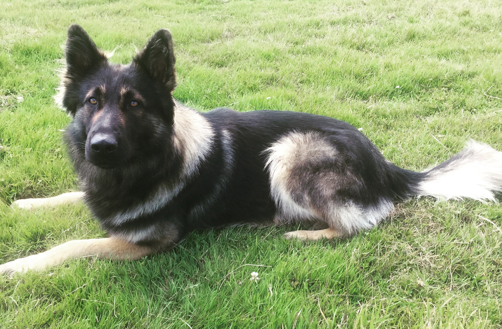 Harley Bedfordshire, Cambridgeshire and Hertfordshire Dog Unit