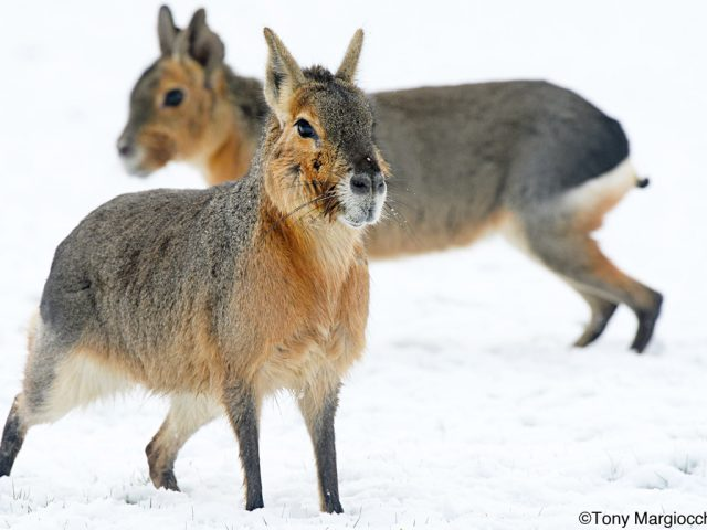 Patagonian Mara's playing