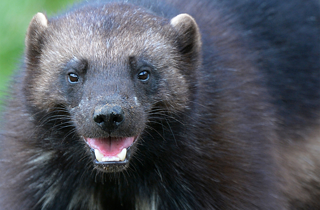 Baby Wolverines Make A Whirlwind Appearance At Whipsnade