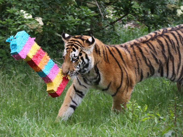 ZSL whipsnade Tiger's 1sr birthday 2