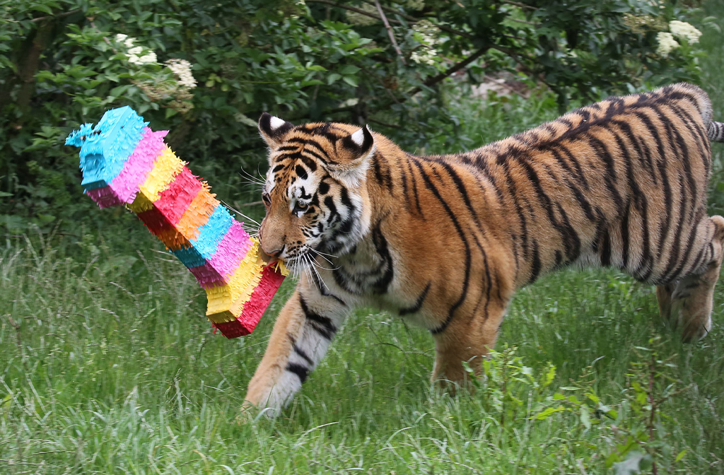 Endangered tiger cubs celebrate first birthday with Whipsnade piñata