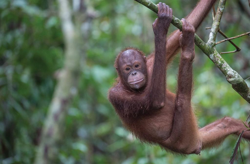 Orangutan - Eagle Travel