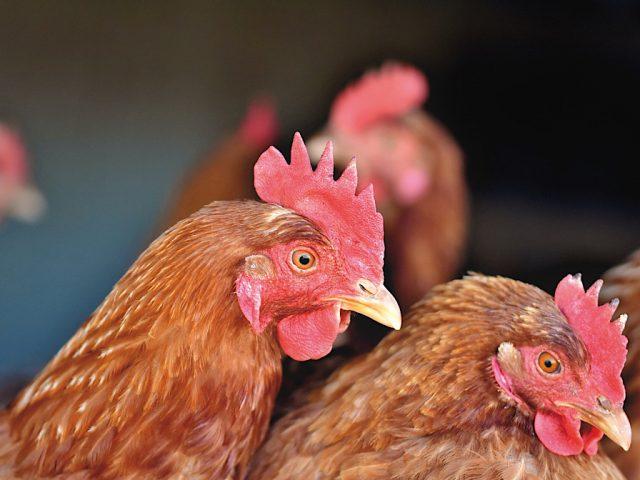 chicken farming food standards