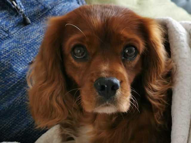Toby the Cavalier King Charles spaniel