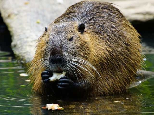 Could Beavers like this be introduced along the River Great Ouse?