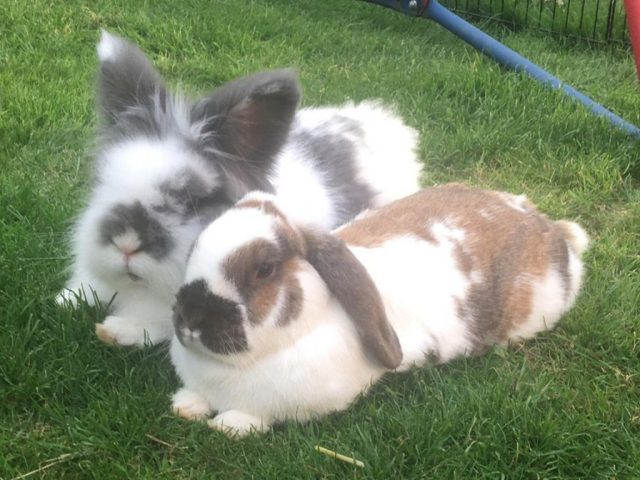 Fluffy Bramble and his brown and white bunny 'wife' and felllow rescue Primrose